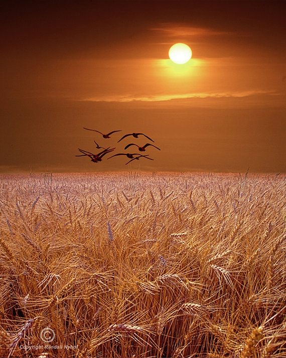 gulls-flying-over-a-wheat-field-at-sunset-in-michigan